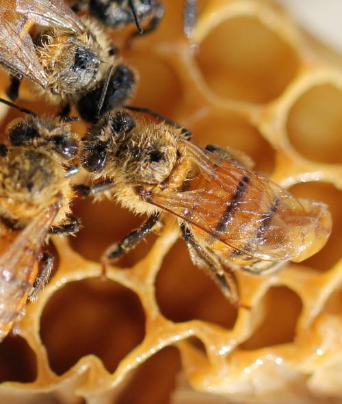 La cire d'abeille, quels bienfaits dans les baumes à lèvres ?